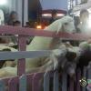 Маленькие козлята в центре Бангкока