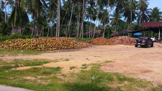 кокосовые плантации