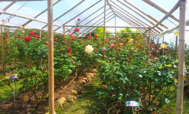 Сад роз Королевы в Чиангмае